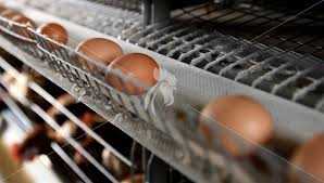 8 ways to improve egg production rate in abroad Chicken cage and ...