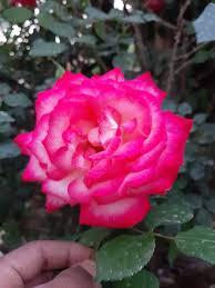 ورد الورود Posts Facebook