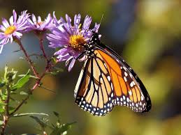 plants that attract erflies the