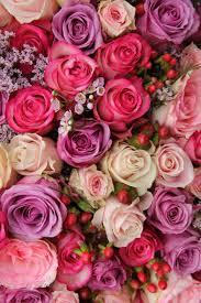 flower garden roses rose pink