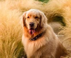 ผลการค้นหารูปภาพสำหรับ หมาโกลเด้น