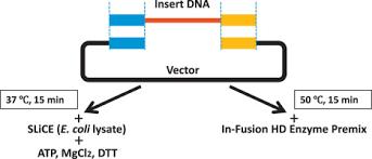seamless ligation cloning
