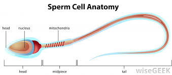 Image result for mid-piece of a sperm diagram
