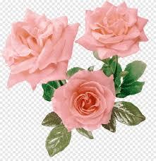 روزا غاليكا زهرة الوردي الأرجواني زهرة جميلة زهرة الورود