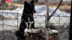 Dog Barking Behind A Fence Stock Video Download Video Clip Now Istock