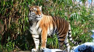 Coronavirus: Tiger at New York's Bronx ...