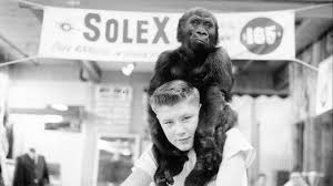 Meet Ivan: The Tacoma gorilla who changed the world | king5.com