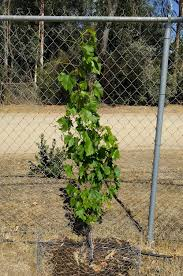 Growing Grapes On A Chain Link Fence Greg Alder S Yard Posts Food Gardening In Southern California