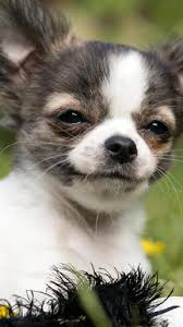 chihuahua puppies wallpaper for android