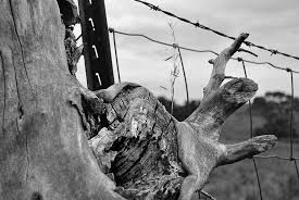 Fence Barbed Wire Tree Trunk Post Black And White Pikist