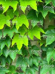 Ivy Green Background Stock Photo - Download Image Now - iStock