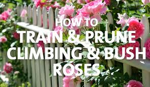 How To Train Prune Climbing Bush Roses Palmers Garden Centre