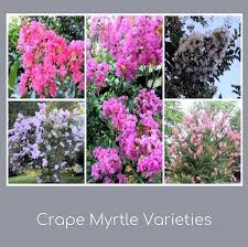 A GUIDE TO NORTHEASTERN GARDENING: Crape Myrtle-A Personal Favorite For  Long Blooming Time and Lasting Color