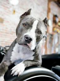 pit bull wallpaper on hipwallpaper