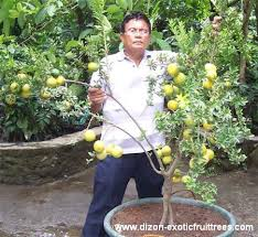 dizon fruit trees
