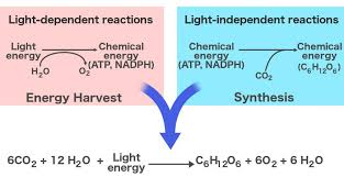 photosynthesis definition reaction