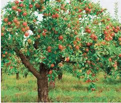how to prune an apple tree quarto