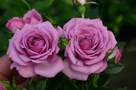 rose wallpaper 15384 baltana
