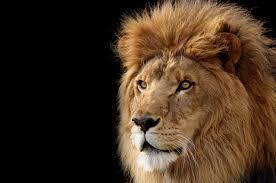 free pics photos lion head