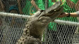 Gator Week Can Gators Climb Trees Wgxa