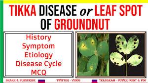 tikka or leaf spot disease of groundnut