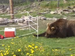 Bear Videos Tahoe Bear Busters