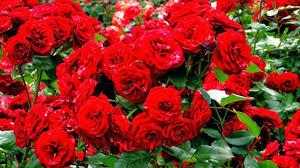 خلفيات ورد احمر صور ورد احمر رومانسي افخم فخمه