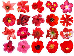 red flowers free hq psd and vector