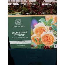 Rose Dame Judi Dench 6Lt