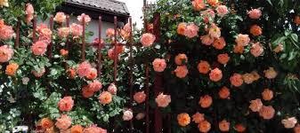 How To Make A Bushy Climbing Rose Dave S Garden
