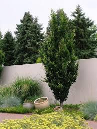 columnar beech beech tree garden