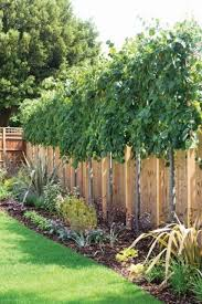 Lime Trees Tilia Perfect For Above Fence Screening Privacy Trees Backyard Privacy Landscaping Backyard Trees