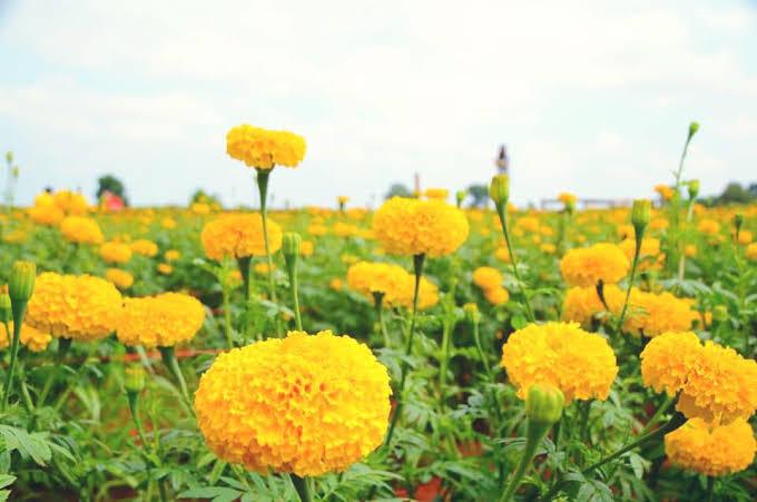 ผลการค้นหารูปภาพสำหรับ ดอกไม้จังหวัดสมุทรปราการ png