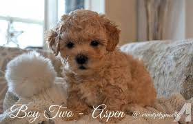 female toy poodle in michigan