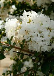 White Early Bird Crape Myrtle | Shop Online with PlantsbyMail.com