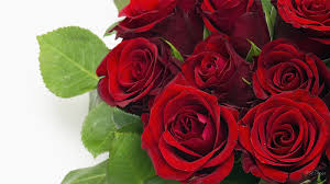 50 beautiful red rose wallpaper on