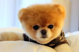 cutest dog in the world boo breedpet