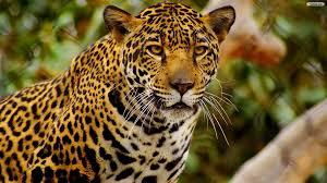 hd jaguar wallpapers and photos hd