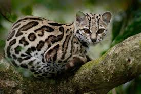 ᐈ Ocelot Stock Images Royalty Free A An Ocelot Pictures Download On Depositphotos