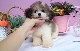 cute teacup poodle puppies near me