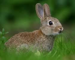 موسوعة الصور حيوانات ـ طبيعة صو ر أرانب مميزة