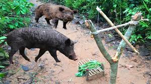 wild pig trap using snare trap