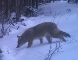 Coyote Control Based on Scientific House of Cards - National Wolfwatcher  Coalition