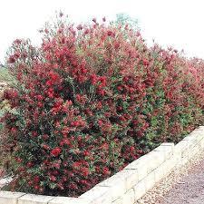 Bottlebrush Tree Slim Callistemon Viminalis Live Plant Hummingbird Feeder Red Screen Plants Live Plants Plants