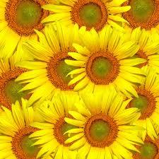 sunflowers sunflower flower fl
