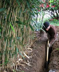 Bamboo Care And Maintenance A Guide For Growing And Controlling Bamboo