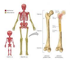 skeletal system anatomy physiology