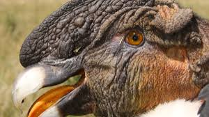 Wild Andean Condors