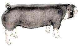 Poland China - Certified Pedigreed Swine