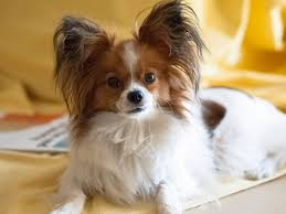 My Papillon Dog | Papillon dog, Papillon dog puppy, Papillion dog